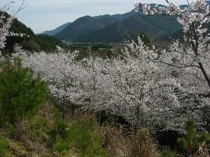 2012年粟賀ゴルフ倶楽部「桜の風景」(2)